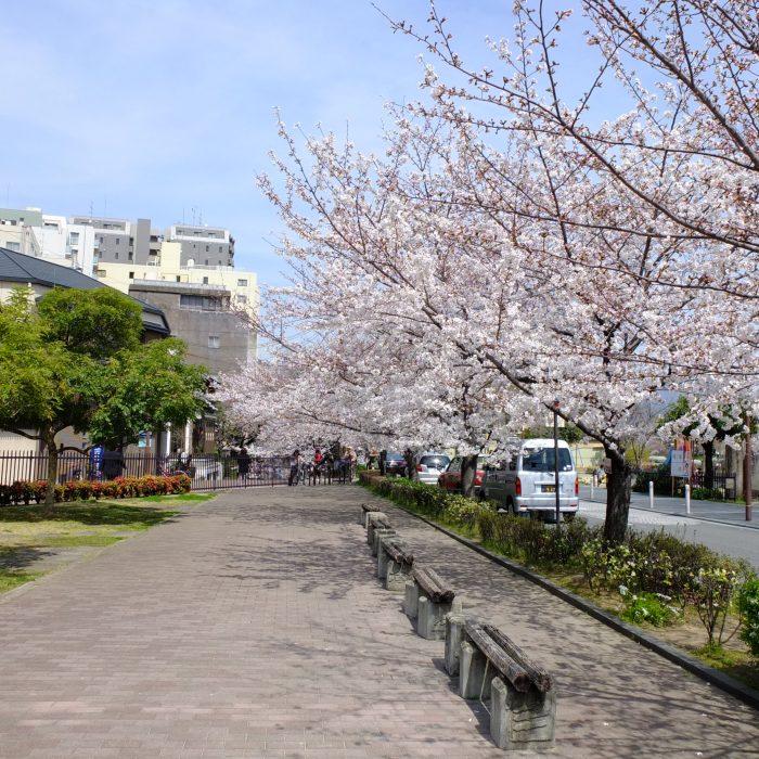 清水五条-到埗京都第一次看到的櫻花 The first Sakura I see at Kiyomizu Gojo, Kyoto 清水五条で初めての桜